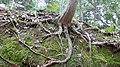Tree roots, Fushimi Inari Shrine P1010232.jpg