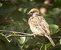Tree sparrow (50274168522).jpg