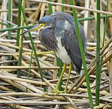 Tricolor heron at Viera - Flickr - Andrea Westmoreland.jpg