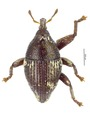 Trigonopterus squamosus (Lea), lectotype.tif