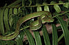 Trimeresurus flavomaculatus (KU 330049) from mid-elevation, Mt. Cagua - ZooKeys-266-001-g098.jpg