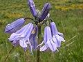 Triteleia grandiflora (3625584917).jpg