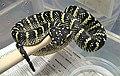 Tropidolaemus wagleri.jpg