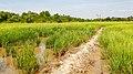 Tuaran Sabah Rice-paddies-01.jpg