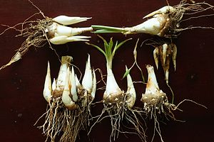 Polianthes tuberosa - Tuberose bulbs taken out for seasonal replantation