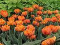 Tulip double cv. 14.JPG