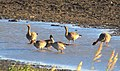 Tundrasädgås Tundra Bean Goose (15765749961).jpg