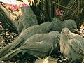 Turdoides striata flock.jpg