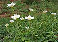 Turnera ulmifolia 'Elegans' in Hyderabad, AP W IMG 0216.jpg
