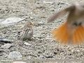 Twite (Carduelis flavirostris) (49341053673).jpg