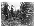Two men on horses in the midst of huge Hawaiian tree ferns, 1907 (CHS-1260).jpg