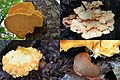 Typical variations in shape and colour of the snail's favorite mushroom, Laetiporus sulphureus (Chicken of the Woods or Sulphur shelf, D= Schwefelporling, F= Polypore soufré, NL= Zwavelzwam) white spores and causes bro - panoramio.jpg