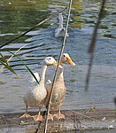 USAID supports the Government of Vietnam's efforts to control avian influenza in Vietnam. (5071422160).jpg