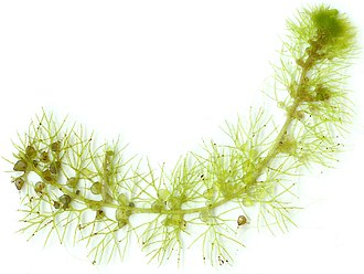 Utricularia - The tip of one stolon from a U.K. instance of U. vulgaris, showing stolon, branching leaf-shoots and transparent bladder traps.