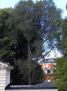 <i>Ulmus</i> Crispa Elm cultivar
