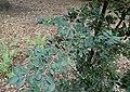 Ulmus parvifolia kz4.jpg
