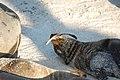 Una especie de foca en las islas Galápagos.jpg