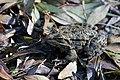 Une grenouille verte à Mons la Trivalle.jpg