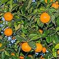 Unidentified Citrus in Braga.jpg