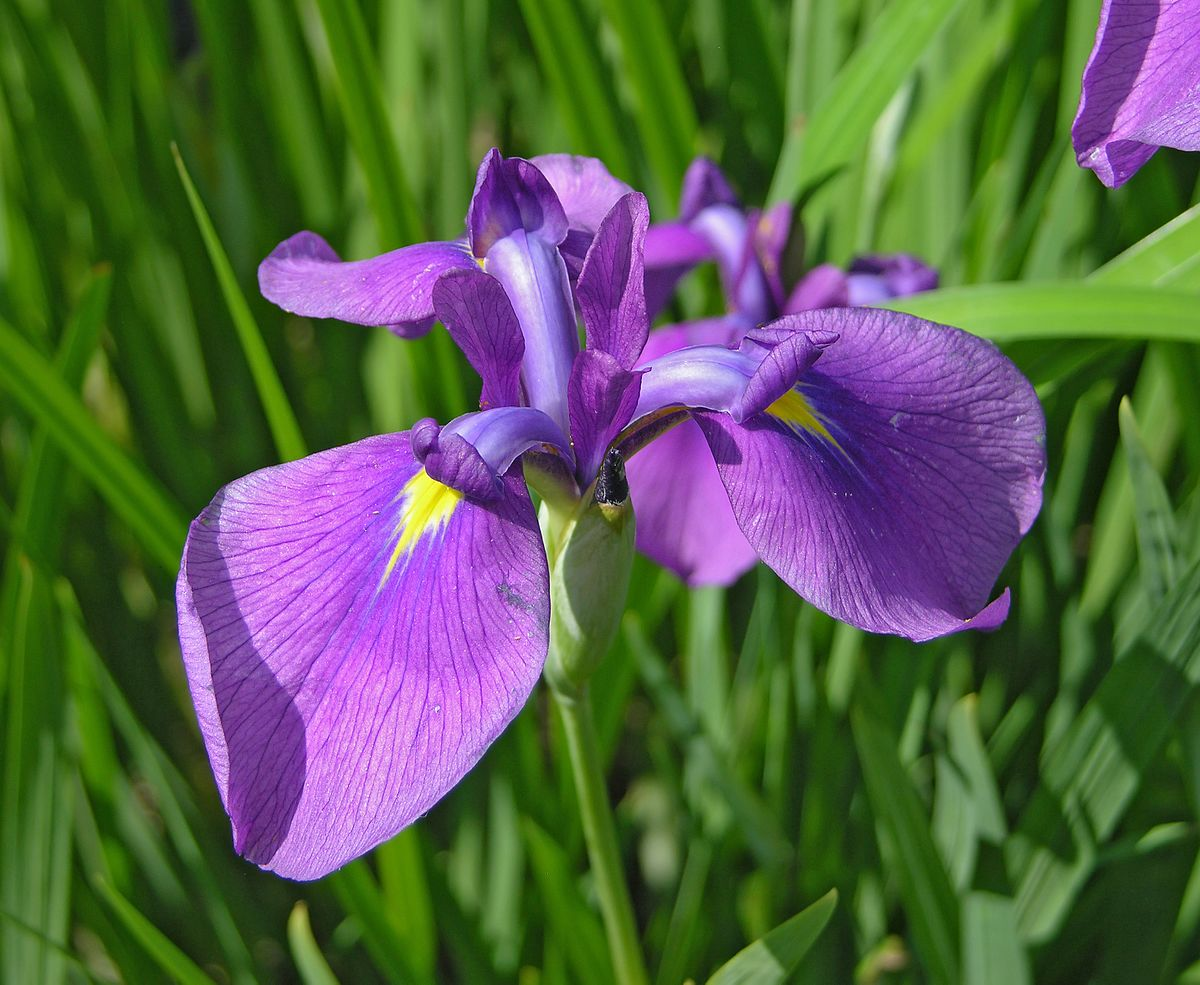 iris color  wikipedia, Beautiful flower