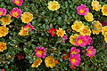 Unidentified Portulaca flowering in a garden 1.jpg