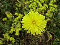 Unknown yellow flower.JPG