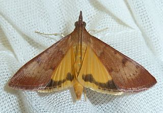 <i>Uresiphita polygonalis</i> Species of moth