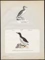 Uria lomvia - 1700-1880 - Print - Iconographia Zoologica - Special Collections University of Amsterdam - UBA01 IZ17800313.tif