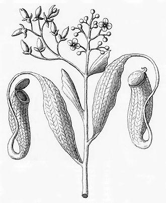 Nepenthes - Plukenet's drawing of N. distillatoria from his Almagestum Botanicum of 1696.