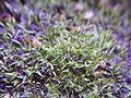Utricularia chrysantha.jpg