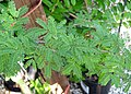 Vachellia farnesiana (sweet acacia) 1 (25066577517).jpg