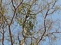 Vanda (Sanskrit- वंदा) (3262197517).jpg