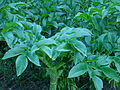 Vegetables Bangladesh (2).JPG