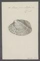 Venus punctifera - - Print - Iconographia Zoologica - Special Collections University of Amsterdam - UBAINV0274 077 12 0028.tif