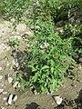 Verbena officinalis sl8.jpg
