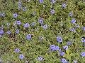 Verbena tenuisecta.jpg