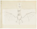 Vespertilio emarginatus - 1700-1880 - Print - Iconographia Zoologica - Special Collections University of Amsterdam - UBA01 IZ20800197.tif