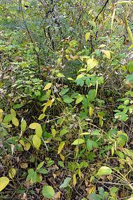 Vincetoxicum rossicum SCA-04861.jpg
