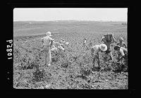 Vintage activities at Richon-le-Zion, Aug. 1939. Gen(eral) view of vineyards S.W. of Richon during grape picking LOC matpc.19750.jpg