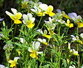 Viola arvensis zhuchka3.JPG