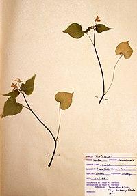 Viola canadensis var. canadensis BW-1966-0515-0963.jpg
