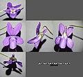 Viola reichenbachiana sl5.jpg