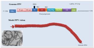 <i>Potyvirus</i> genus of viruses