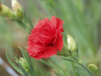 Parents' Day - Dianthus caryophyllus, commonly known as carnations, flowers that symbolize Parents' Day and are given to parents by children in celebrating Parents' Day in South Korea
