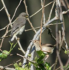 Wahlberg's Honeyguide Juvenile with host parent Rock-loving Cisticola.jpg