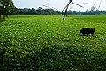Water Hyacinth from Kazirbag (02).jpg
