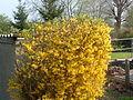 Watkin Yellow bush (458884130).jpg
