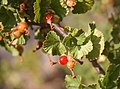 Wax currant Ribes cereum fruit.jpg