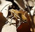 Weevil. Curculionidae. Lixus species - Flickr - gailhampshire.jpg