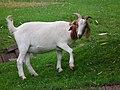 Weiß-braune Ziege.JPG